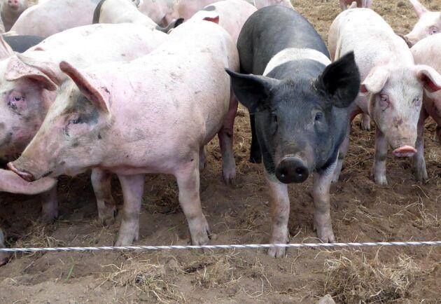 Suget efter griskött på marknaden i höst ger bra läge att förhandla om avtalet med slakteriet.