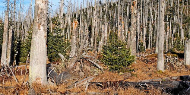 Barkborren en katastrof för skogsbruket