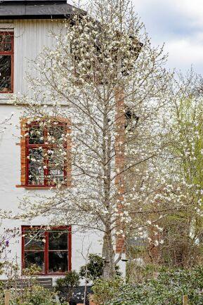 Hybridmagnoilia 'Merrill' blommar på bar kvist i april.