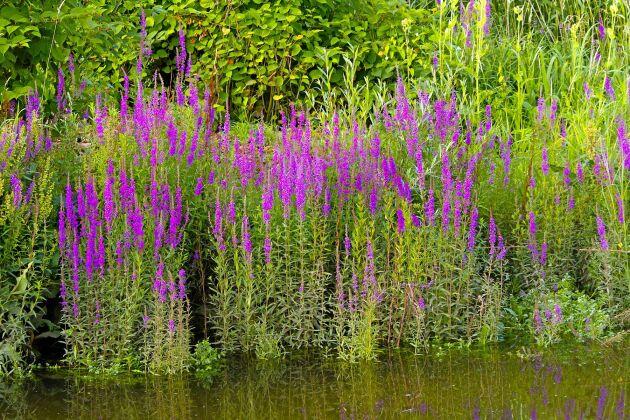 Fackelblomster ger höjd och massor med färg.