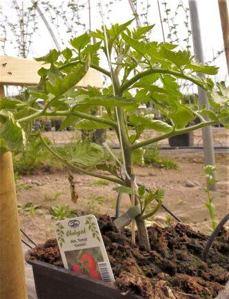 Även tomater odlas i de nya tunnlarna i Smedby.