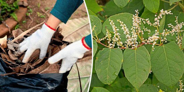 Se upp när du höststädar trädgården – kan sprida invasiva växter!