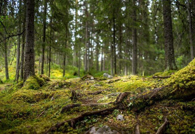 Granbarkborren kan inte hanteras på samma sätt i produktionsskog och skyddad skog, skriver Johan Åberg, Skogsstyrelsen.