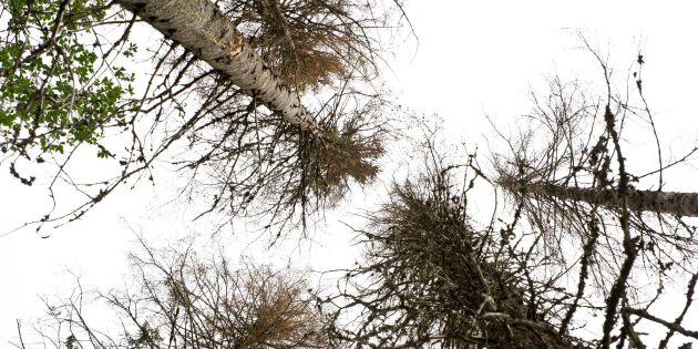 Torkstress riskerar leda till angripna träd