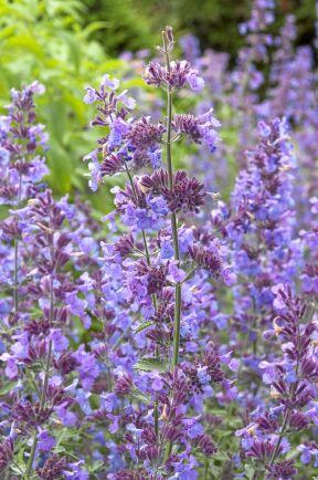 8) Kantnepeta, Nepeta faassenii, 'Walkers Low' är en fin vävarväxt med silvergröna blad. Den blir 50 centimeter hög och blommar med blåvioletta blommor.