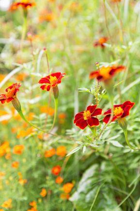 Linnétagetesen 'Burning Embers' är en högväxt skönhet med luftigt växtsätt och tegelröda små blommor. Den passar fint tillsammans med exempelvis grönkål i kökslandet.