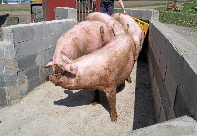 Dräktiga suggor på väg in i grisningsstallet på Hönnedals gård.
