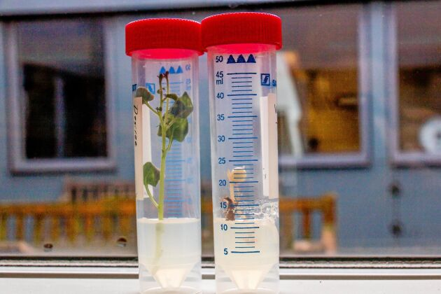Den nya gensaxtekniken testas på potatis vid SLUs växtförädlingsinstitution i Alnarp.