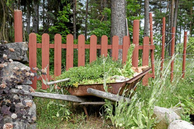 I skottkärran har makarna planterat suckulenter och andra torktåliga växter. Den fungerar som ett av många fina stilleben i trädgården.