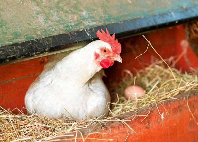 Tvillingkycklingarna kan inte båda överleva i ett och samma ägg.