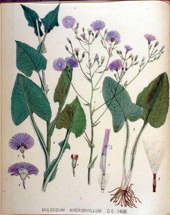 Parksallat är ett importerat ogräs som återfinns i syd- och mellansverige.