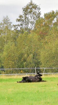 Om hästen rullar sig eller lägger sig ner och reser sig upp upprepade gånger kan det vara täcken på kolik.