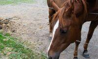 Nytt cancertest för häst kan bli verklighet