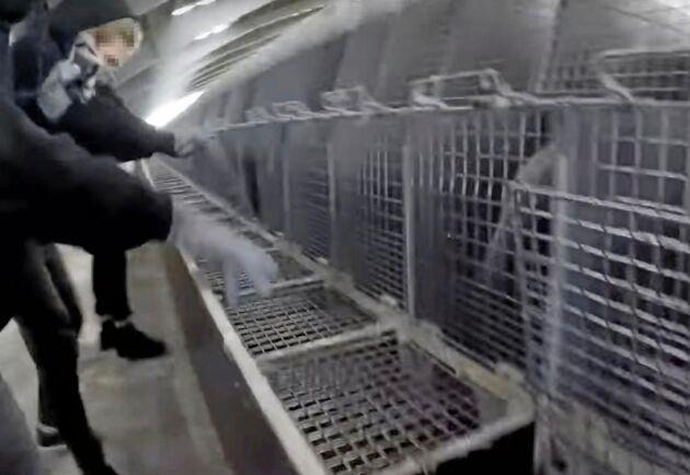 I hög fart öppnar aktivisterna dörrarna till de burar där minkarna bor.