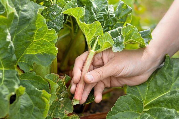 FEL. Man ska helst inte skära av rabarberstjälkarne med kniv, det kan skada hela plantan.