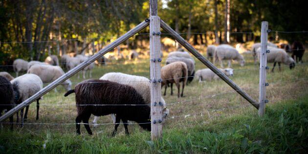 EU lovar full ersättning vid rovdjursangrepp