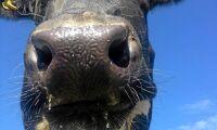 Djur i Schweiz smittade av blåtunga