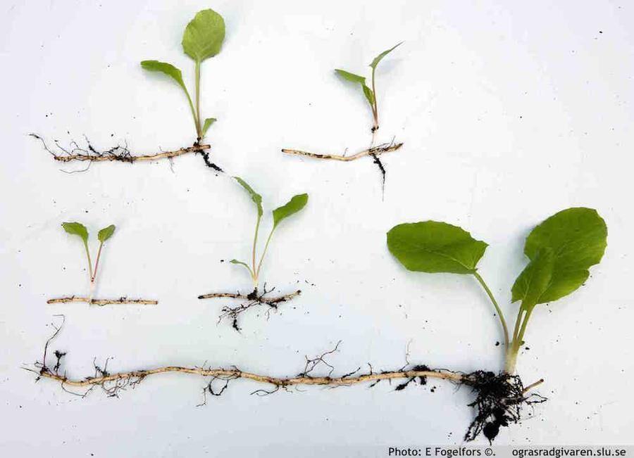 Att störa rötterna tar plantans energi. Visst ger varje rotbit en ny planta men den blir svagare. Foto: Ogräsrådgivaren, SLU.