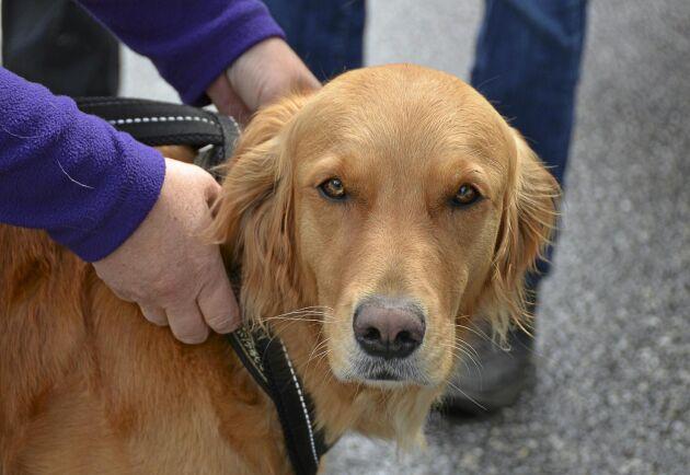På Hundcampus står nosen i centrum. Fyraåriga Lova fick en tuff spåruppgift men klarade provet med bravur.