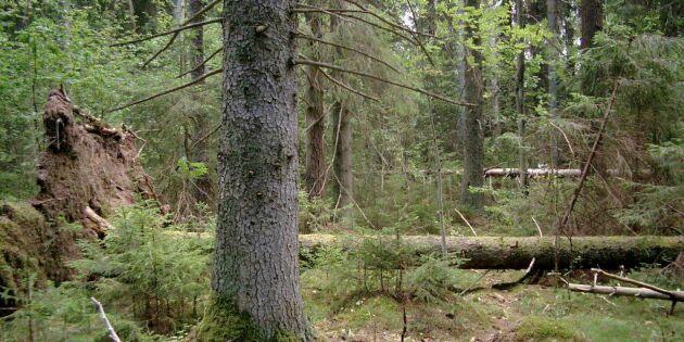 Stoppa barkborreavverkning av nyckelbiotoper!