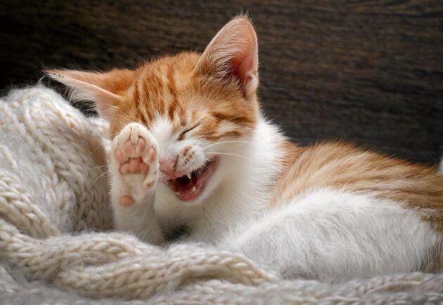 Gick du på den lätta, husse? Upp med en tass alla som gått på en myt om katter.