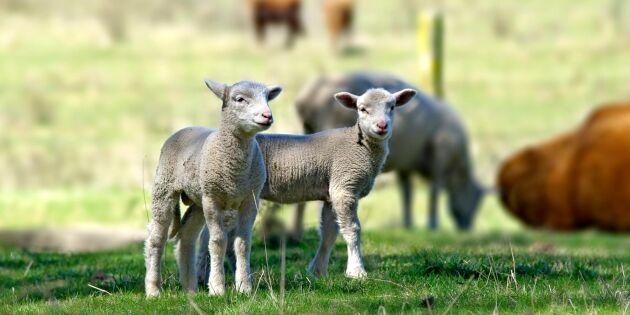 Trådlöst stängsel kan hålla fåren inne