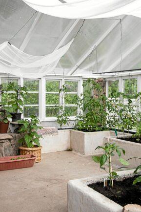 Här inne planterar Johnny olika sorters gurkor och körsbärstomater. Kring de uppmurade blomsterbänkarna växer auberginen Moneymaker och den vackert blåblommande Leanderklockan.