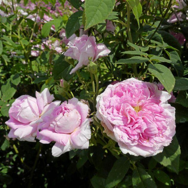 'Ispahan' bjuder på långvarig blomning.