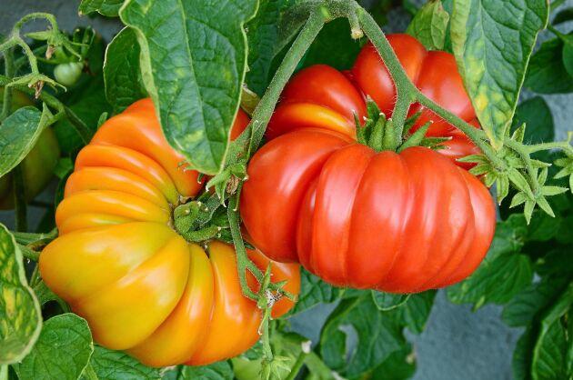 Tomater av sorten Brandywine.