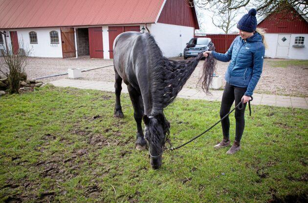 Frieserhästens svarta päls och långa man är dess främsta kännetecken.