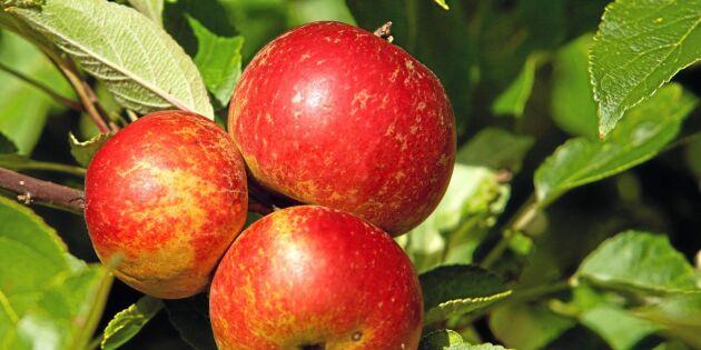 Äppelodlarna säljer klass 2 äpplen i butik