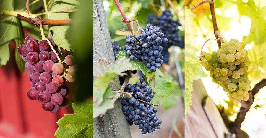 I vingården odlas de blå druvorna Rondo och Cabernet Cortis och vita Druvan Solaris vilka mognar bra i det svenska klimatet och ger spännande, fruktiga och friska viner. Foto: Josefin Widell Hultgren