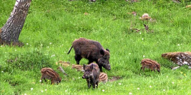 I kikarsiktet: Följ med på spännande vårjakt på vildsvin
