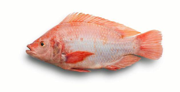 Rödstrimma (niltilapia) är en av matfiskarna som passar bra att odlas på land.