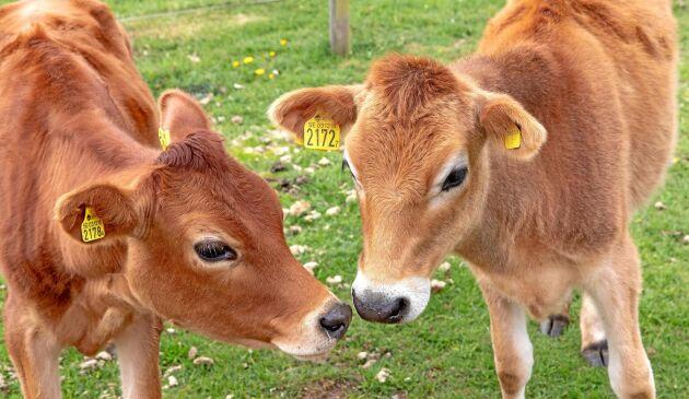 Björketorps gård bygger nu för att behålla tjurkalvarna på gården och producera ekologiskt naturbeteskött.