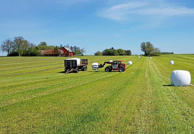 Rundbalarna tas bort från fältet direkt så återväxten kan komma i gång.