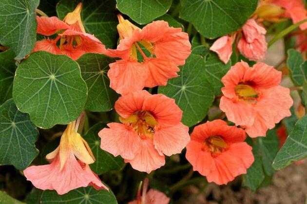 Buskkrasse 'Salmon Mousse' har laxrosa blommor som står sig fint mot de mörkgröna bladen. Knoppar och blommor har en kryddig smak och kan blandas i sallader. Kan sås direkt på friland i maj juni eller förodlas i april. Rara växter.