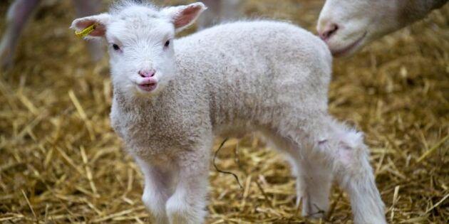 Live-TV: Bää så sött – här kan du följa lammen från start