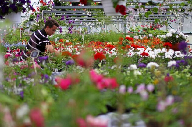 Niklasdams trädgård har ett helt museum med pelargoner.