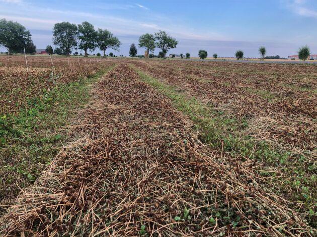 Många fröodlare väljer att stränglägga vitklöver i år eftersom växtskyddsmedlet Reglone som tidigare använts för nedvissning inför skörd inte längre är tillåtet att använda.