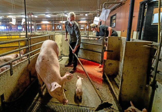 Varför tar inte Kommunal och Arbetsmiljöverket grisskötarnas arbetsmiljö på allvar, undrar debattören.