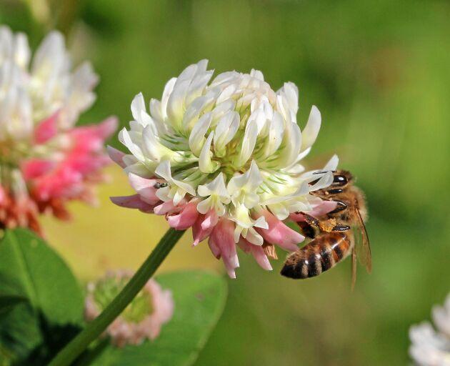 Honungsbi på en pollen- och nektarrik vitklöver. Bin som besöker en hektar av dessa blommor kan ge omkring 75 kg honung. Foto Wiveka Johansson.