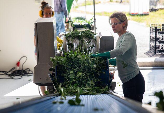 Ett tiotal olika växter ska köras i pilotanläggningen för att utvärderas.