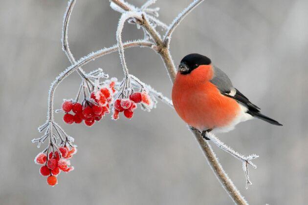 En domherrehane ser nästan påhittad ut när den sitter i vinterlandskapet. Det röda bröstet lyser lång väg. Så här skiljer sig hanen och honan!