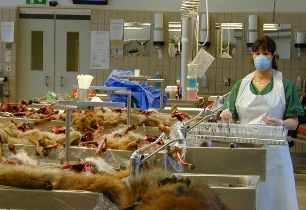 SVA-personal tar hand om insända rävar.