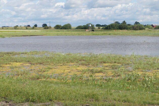 I våtmarken varierar vattendjupet i dammarna mellan en halv och en meter. Inhyrda djur betar i området.