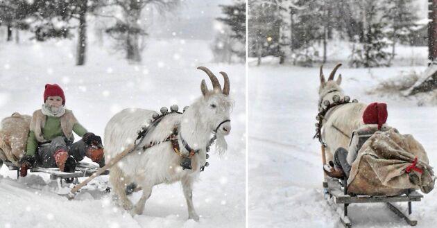 Getabocken Enok drar släden i Muskus i Norrbotten.