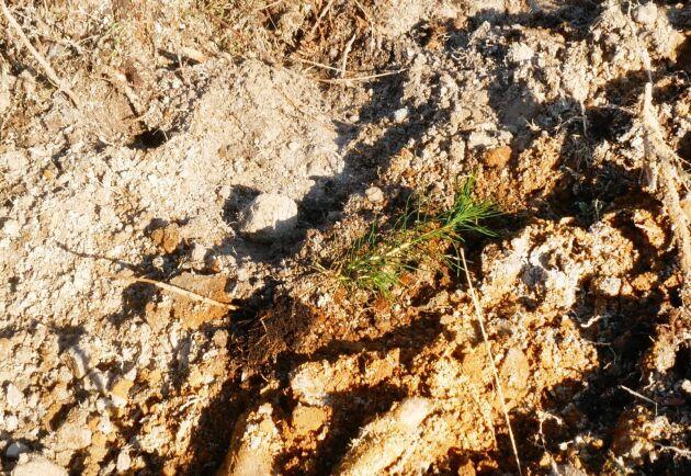 70 procent av alla plantor som satts har varit godkända. Av dem som inte blivit det har flertalet hamnat där det varit för mycket humus. Ett antal har, som här, landat på marken då något gått fel i aggregatet.