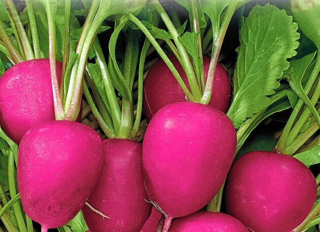 Rädisa 'Jutrzenka' har en ovanlig rosa färg. Snabbväxande med en mild och god smak. Ät hela med smör eller hacka och strö över sallader, smörgåsar och soppor. Så direkt på friland vår och sensommar. Gourmet Garage.