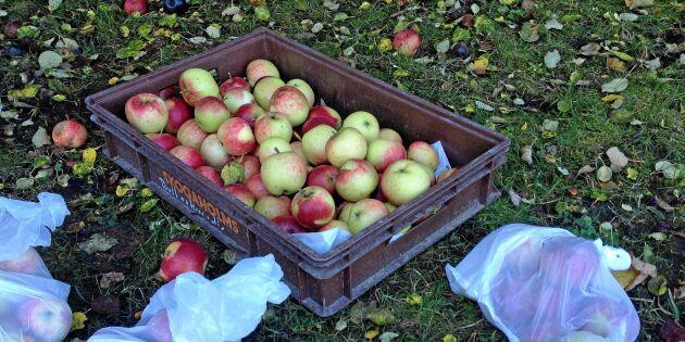 Smart knep för att lagra dina äpplen